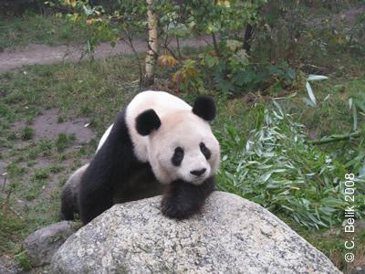 Die Kopf-auf-linke-Pfote-ich-warte-auf-Bambus-Pose