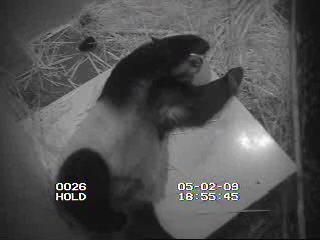 Mei Xiang in ihrem Schlafraum ...